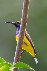 Olive-backed Sunbird (Cinnyris jugularis) - Botanic Gardens (Cairns), Queensland