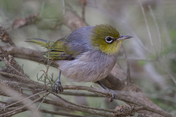 Silvereye (Zosterops lateralis) - Clarkesdale, Victoria