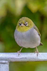 Silvereye (Zosterops lateralis) - Pemberton, Western Australia