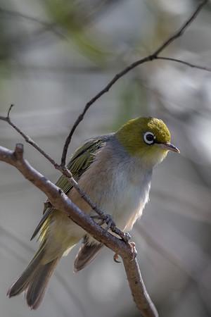 Silvereye (Zosterops lateralis) - Lake St Clair, Tasmania
