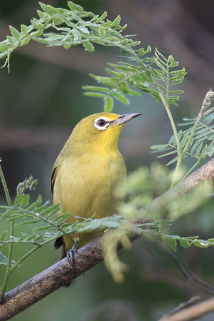 Yellow White-eye (Zosterops luteus) - Buffalo Creek (Darwin), Northern Territory