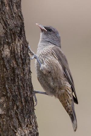 Brown Treecreeper (Climacteris picumnus) - Kara Kara National Park, Victoria