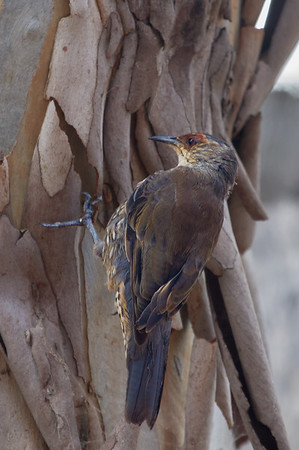 Red-browed Treecreeper (Climacteris erythrops) - Dunns Swamp, New South Wales