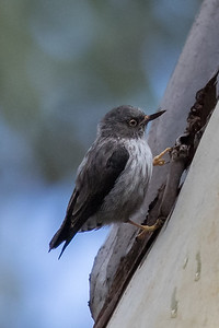 Varied Sittella (Daphoenositta chrysoptera) - Capertee Valley, New South Wales
