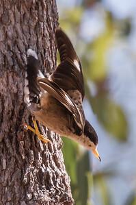Varied Sittella (Daphoenositta chrysoptera) - Caranbarini Conservation Reserve, Northern Territory