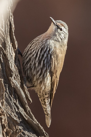 White-browed Treecreeper (Climacteris affinis) - Bowra, Queensland