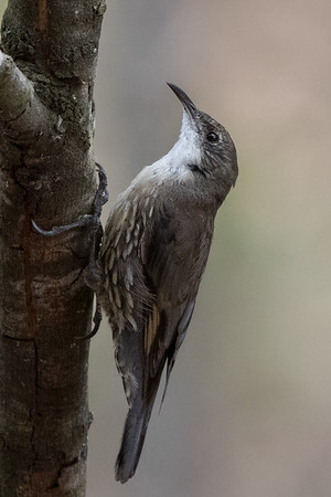White-throated Treecreeper(Cormobates leucophaea) - Glen Davis, New South Wales