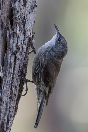White-throated Treecreeper(Cormobates leucophaea) - Glen Davis, New South Wales