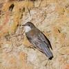 White-throated Treecreeper (Cormobates leucophaeus) - Clarkesdale, Victoria