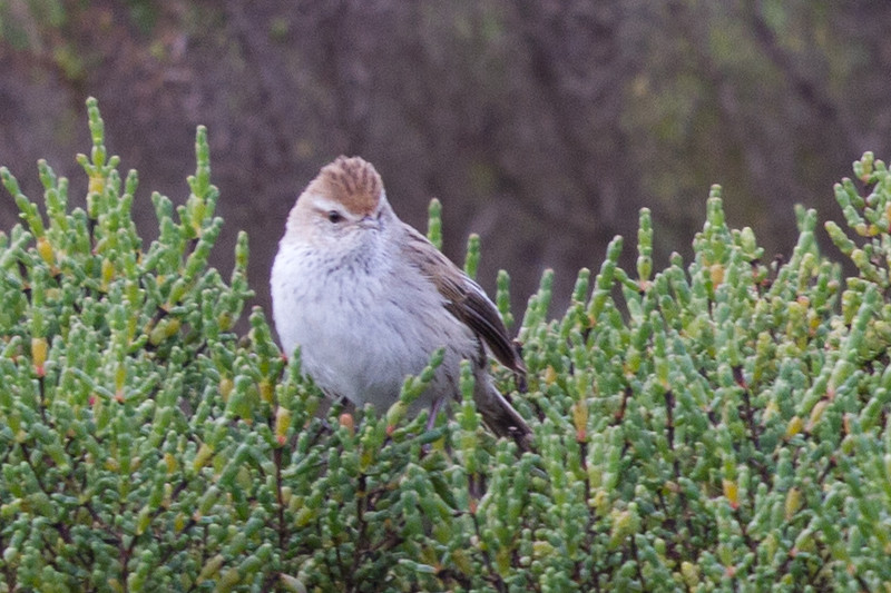Little Grassbird (Megalurus gramineus) - Werribee Treatment Plant, Victoria