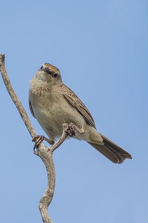Rufous Songlark (Megalurus mathewsi) - Thylungra Station Rest Area (Quilpie), Queensland
