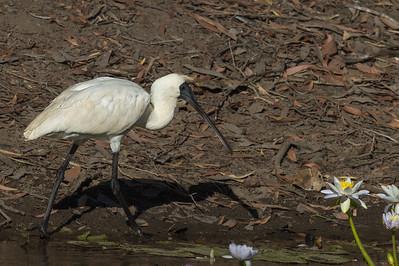 Royal Spoonbill (Platalea regia) - Parrys Lagoon, Western Australia