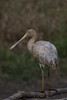 Yellow Billed Spoonbill - Townsville
