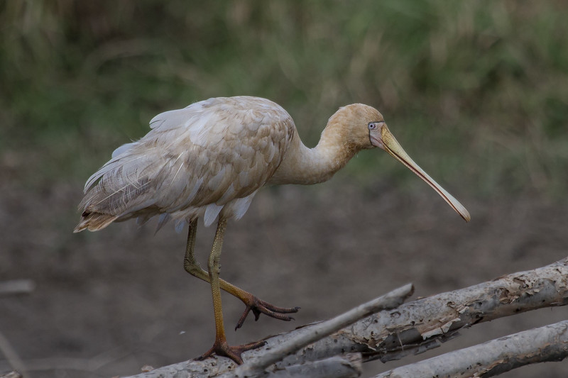 Yellow-billed Spoonbill (Platalea flavipes) - Town Common Conservation Park (Townsville), Queensland