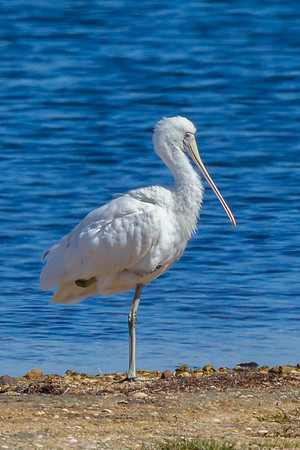 Yellow-billed Spoonbill (Platalea flavipes) - Werribee Treatment Plant, Victoria