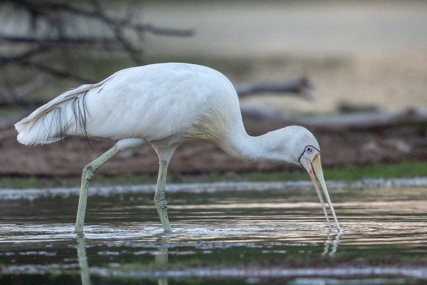 Yellow-billed Spoonbill (Platalea flavipes) - Cunnumulla, Queensland