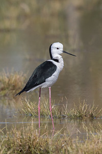 White-headed Stilt (Himantopus leucocephalus) - Bowra (Cunnumulla), Queensland