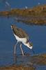 Black-winged Stilt (Himantopus himantopus) - Lake Claremont