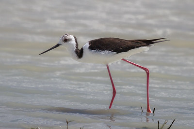 White-headed Stilt (Himantopus leucocephalus) - Longreach Waterhole (Elliott), Northern Territory