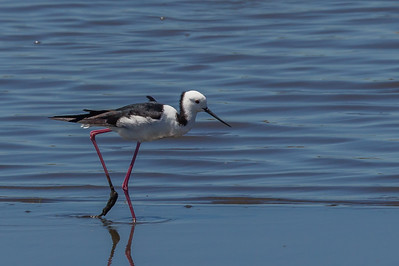 White-headed Stilt (Himantopus leucocephalus) - Werribee Treatment Plant, Victoria
