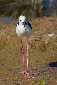 White-headed Stilt (Himantopus leucocephalus) - Lake Claremont, Western Australia
