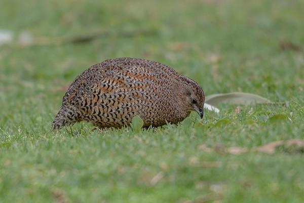 Brown Quail (Coturnix ypsilophora) - Cheynes Beach, Western Australia