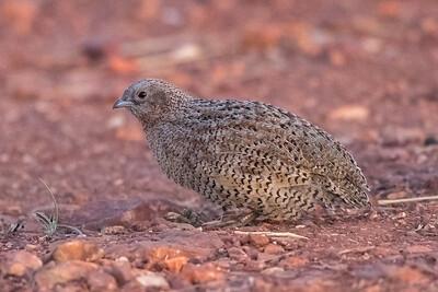 Brown Quail (Coturnix ypsilophora) - Soudan Bore, Northern Territory