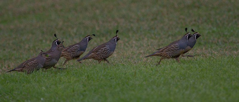 Californian Quail (Callipepla californica) -Kingston, Norfolk Island