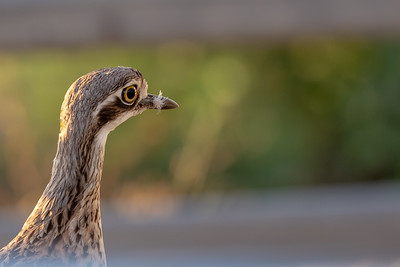 Bush Stone-curlew ( Burhinus grallarius,) - Birds on Barron (Mareeba), Queensland
