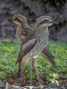 Bush Stone-curlew (Burhinus grallarius) - Julatten, Queensland
