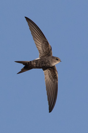 Fork-tailed Swift (Apus Pacificus_ - Lake Cargelligo, New South Wales