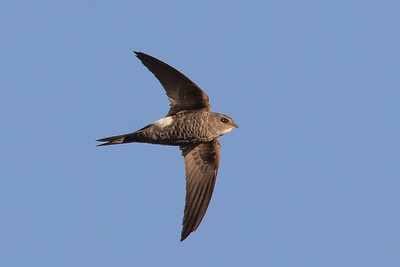 Fork-tailed Swift