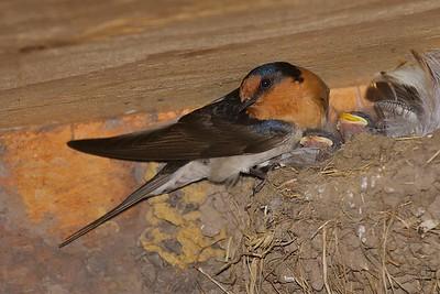 Welcome Swallow (Hirundo neoxena) - Coolart, Victoria
