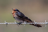 Welcome Swallow (Hirundo neoxena) - Werribee Treatment Plant, Victoria