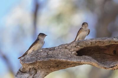 Tree Martin (Petrochelidon nigricans) - Burra Creek Gorge (Worlds End), South Australia