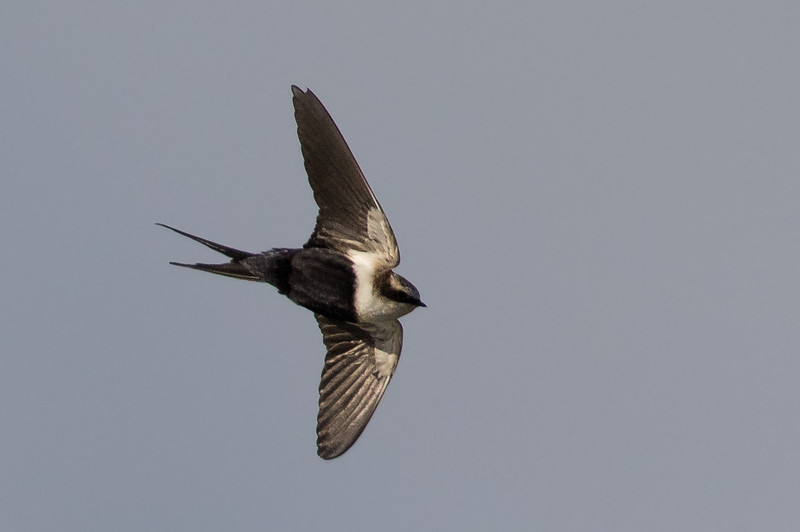 White-backed Swallow (Cheramoeca leucosterna) - Lake Cargelligo, New South Wales