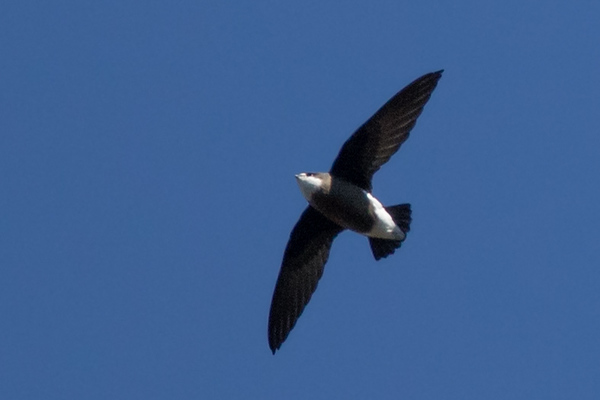 White-throated Needletail (Hirundapus caudacutus) - Lake St Clair, Tasmania