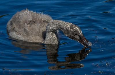 Black Swan (Cygnus atratus) - Melbourne Botanic Gardens, Victoria