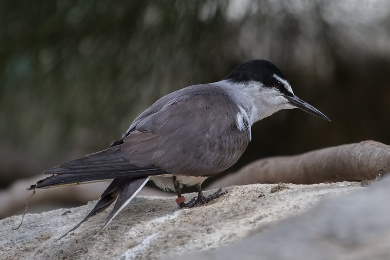 Bridled Tern (Onchoprion anaethetus) - Perth Zoo, Western Australia