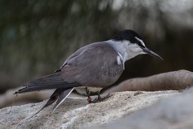 Bridled Tern (Sterna anaethetus) - Perth Zoo, Western Australia