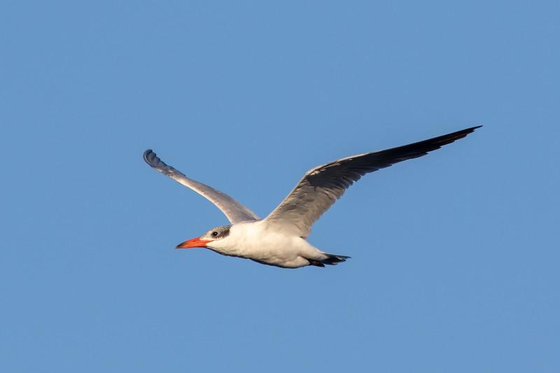 Caspian Tern(Hydroprogne caspia) - Herron Point, Western Australia