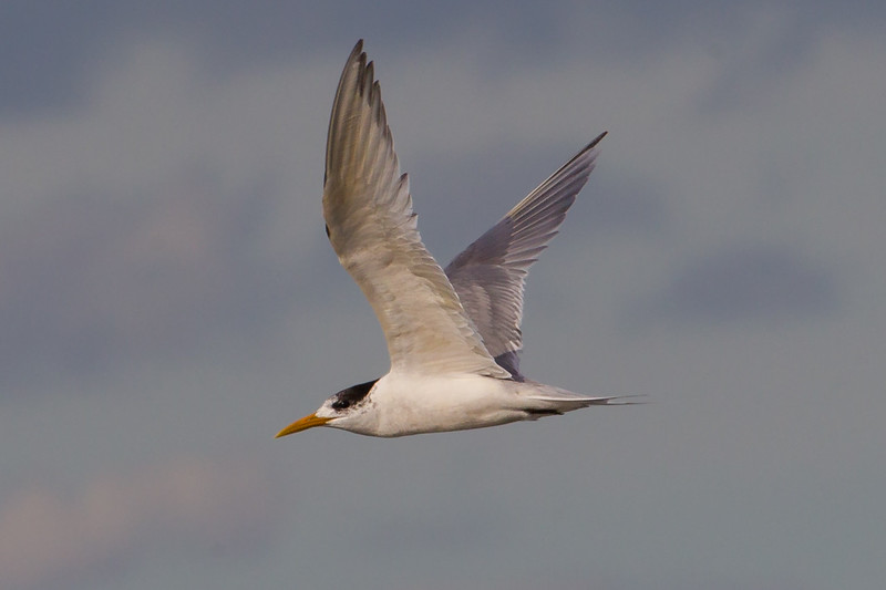 Fairy Tern (Sternula nereis) - Werribee Treatment Plant, Victoria