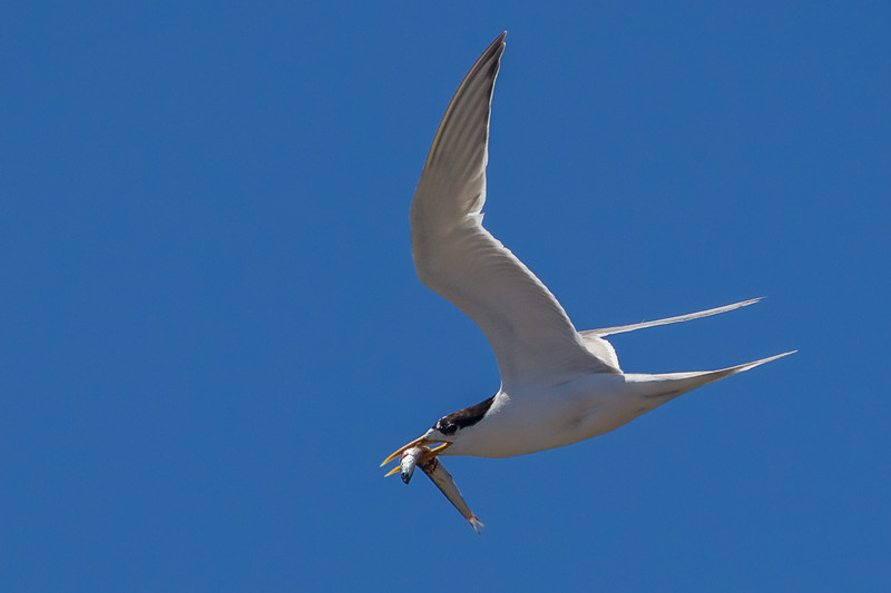 Fairy Tern (Sternula nereis) - Port Lincoln, South Australia