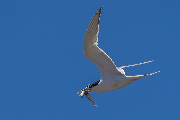 Fairy Tern (Sternula nereis) - Port Lincoln, South Australia