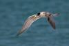Crested Tern (Sterna bergii) - Bay of Fires, Tasmania