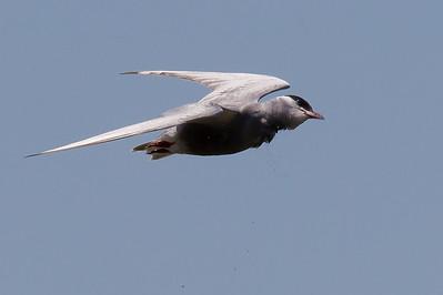 Whiskered Tern (Chlidonias hybrida) - Werribee Treatment Plant, Victoria