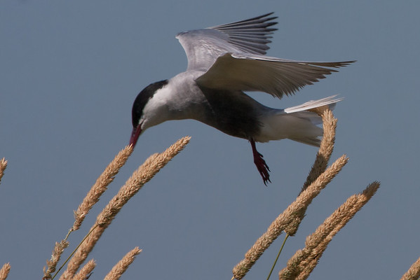 Whiskered Tern (Chlidonias hybrida) - Werribee Treatment Plant, Victoria