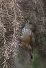 Brown Thornbill (Acanthiza pusilla) - Coolart, Victoria