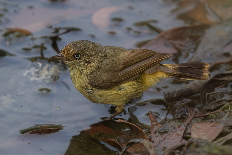 Buff-rumped Thornbill (Acanthiza reguloides - Clarkesdale, Victoria