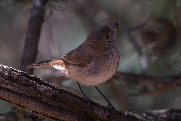 Chestnut-rumped Thornbill (Acanthiza uropygialis) - Arkaroo Rock (Flinders Ranges), South Australia